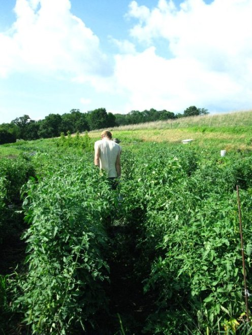 sea of tomato plants