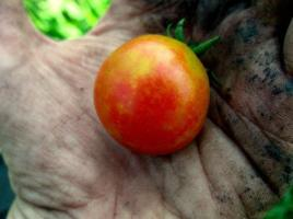 Beautiful Cherry Tomato