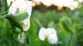pea flower