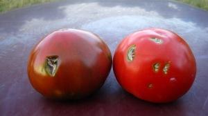 Hail damage on tomatoes