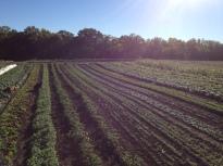 greens in field
