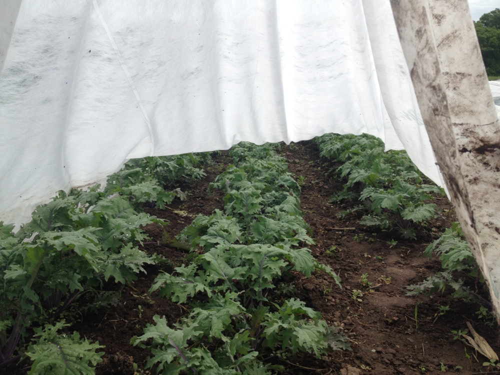 A peak at Red Russian Kale under the row cover