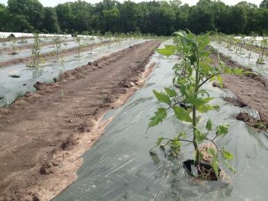 Tomatoes freshly transplanted