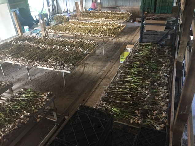 Garlic curing in the pack shed